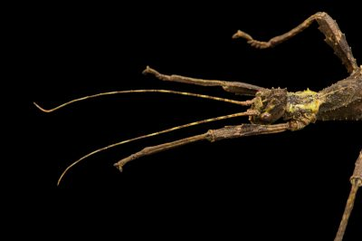 "Photo: Trachyaretaon sp ""AuroraÓ at the Budapest Zoo. This is new to science."