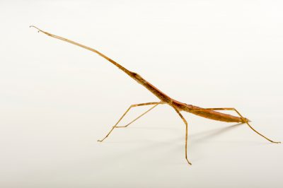 Photo: Walking stick (Screptophasma langkawicense) at the Budapest Zoo.