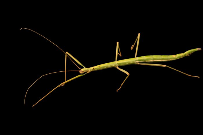 Photo: Northern walkingstick (Diapheromera femorata) at Cedar Point Biological Station.