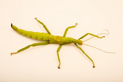 Photo: Female giant lime green stick insect (Diapherodes gigantea) at the Exmoor Zoo.