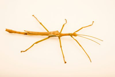Photo: Male giant lime green stick insect (Diapherodes gigantea) at the Exmoor Zoo.