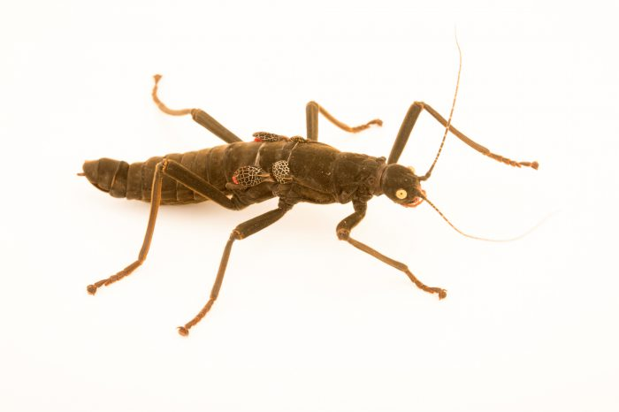 Photo: Golden eyed stick insect or black beauty (Peruphasma schultei) at the Exmoor Zoo.
