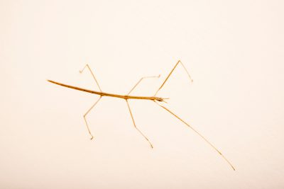 Photo: Western short-horned walkingstick (Parabacillus hesperus) at the Arizona-Sonora Desert Museum.