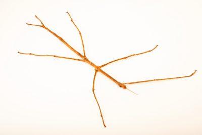 Photo: Gargantuan stick insect (Ctenomorpha gargantua) from the Melbourne Museum