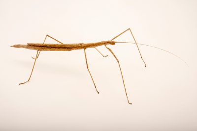 Photo: Cyclone Larry stick insect (Sipyloidea larryi) at Lilydale High School in Australia.