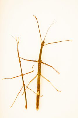 Photo: Two Jejunus stick insects (Lonchodes jejunus) at the Moscow Zoo.