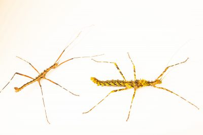 Photo: Tam Dao stick insects (Andropromachus scutatus) at the Moscow Zoo.