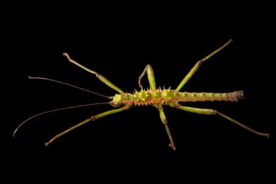 Photo: A juvenile male giant stick insect (Spinohirasea bengalensis) at the Moscow Zoo.
