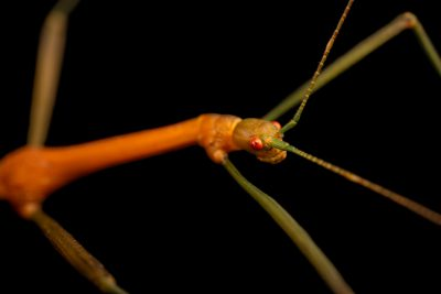 Photo: A female stick insect (Periphetes forcipatus) at the Moscow Zoo.