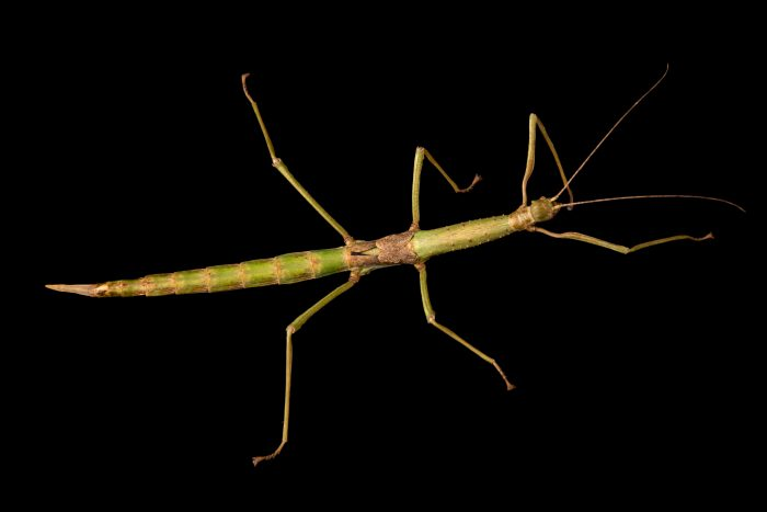 Photo: Stick insect (Haplopus micropterus) at the Moscow Zoo.
