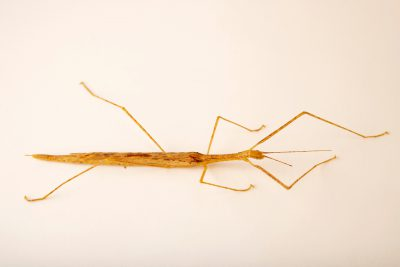 Photo: A female pink-winged stick insect (Sipyloidea sipylus) at the Moscow Zoo.