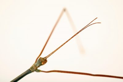 Photo: Stick insect (Ramulus nematodes blue) at the Moscow Zoo.