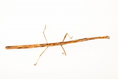 Photo: Stick insect (Hermagoras cultratolobatus) at the Moscow Zoo.