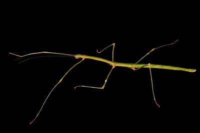 Photo: Walking stick (Lonchodiodes jeloces) at the Moscow Zoo.