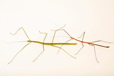 Photo: Two walking sticks (Lonchodiodes jeloces) at the Moscow Zoo.