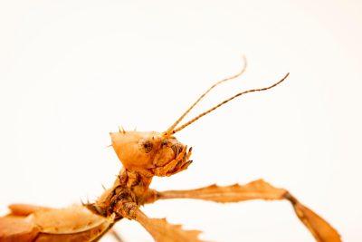 Photo: Spiny Stick Insect (Extatosoma tiaratum) at Melbourne Zoo.