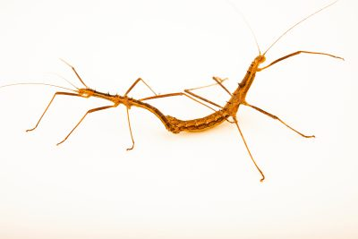 Photo: Mating Vietnamese prickly stick insects (Neohirasea maerens) at Wroclaw Zoo.