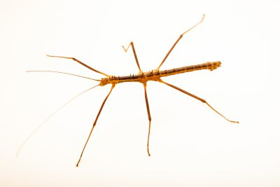 Photo: Male Vietnamese prickly stick insect (Neohirasea maerens) at Wroclaw Zoo.