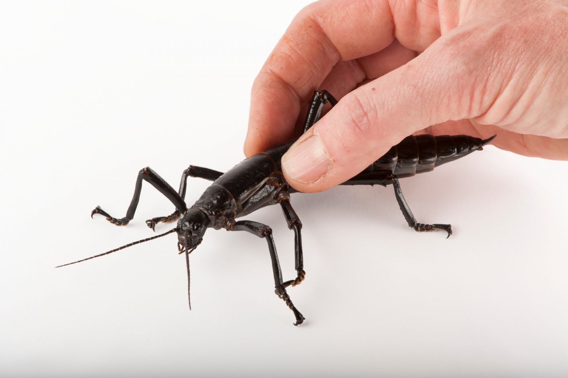 Photo: A critically endangered Lord Howe Island stick insect (Dryococelus australis) at the Melbourne Zoo.