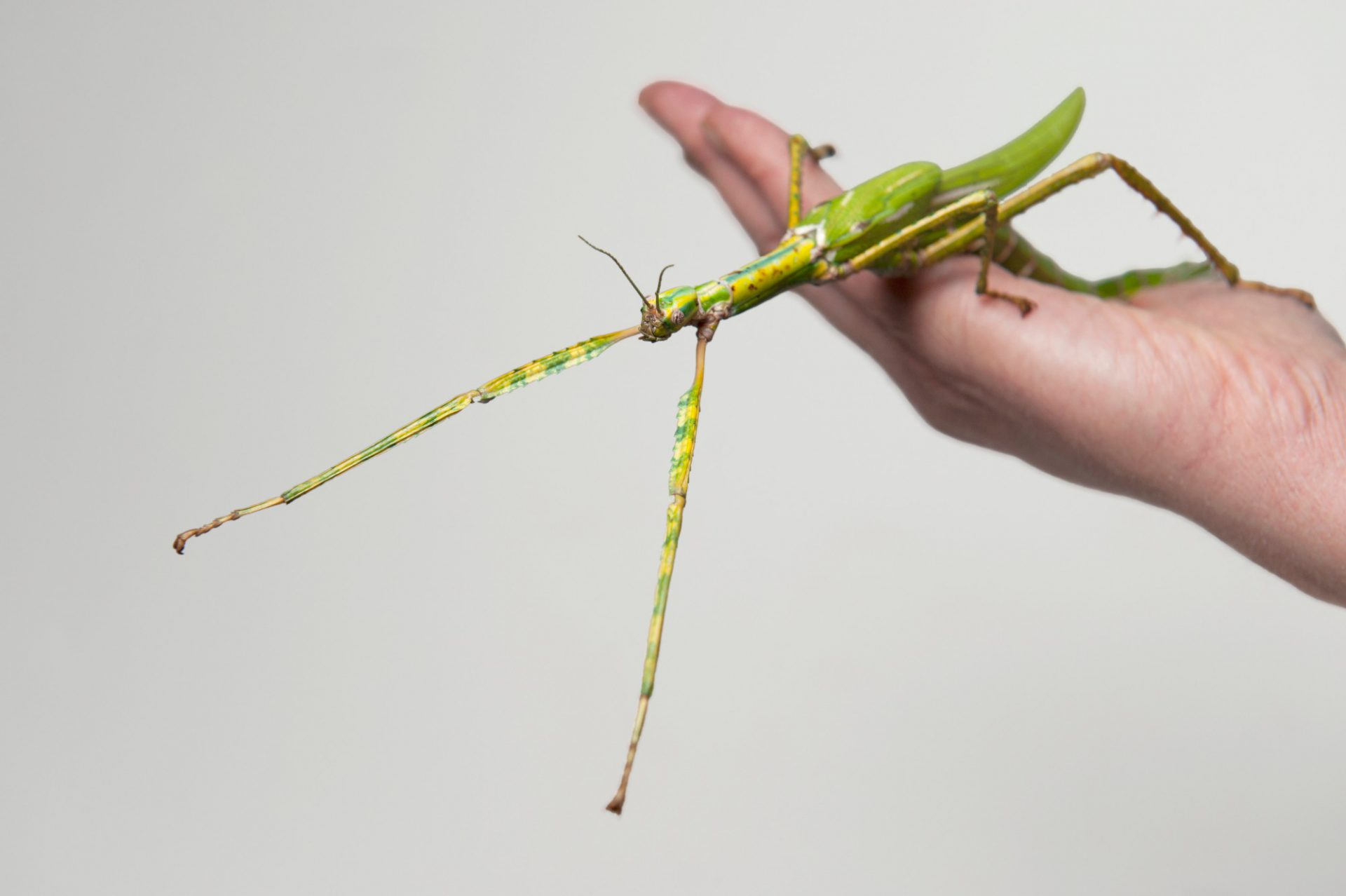 Photo: An eastern goliath stick insect (Eurycnema goliath) at the Melbourne Zoo.