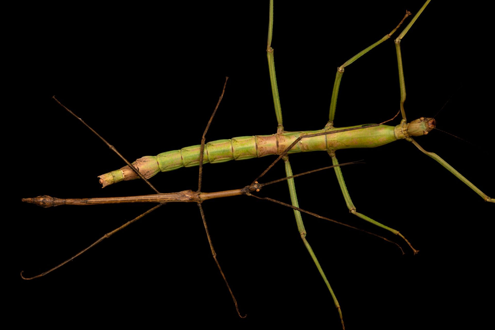 Photo: A Sibuyan stick-insect (Pharnacia magdiwang) at the University of the Philippines.