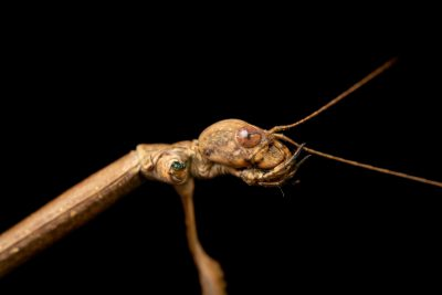 Photo: A stick insect (Eucarcarus sp.) from the University of the Philippines.
