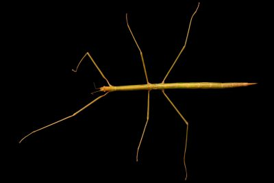 Photo: A stick insect (Sipyloidea cf moorii) at the University of the Philippines.