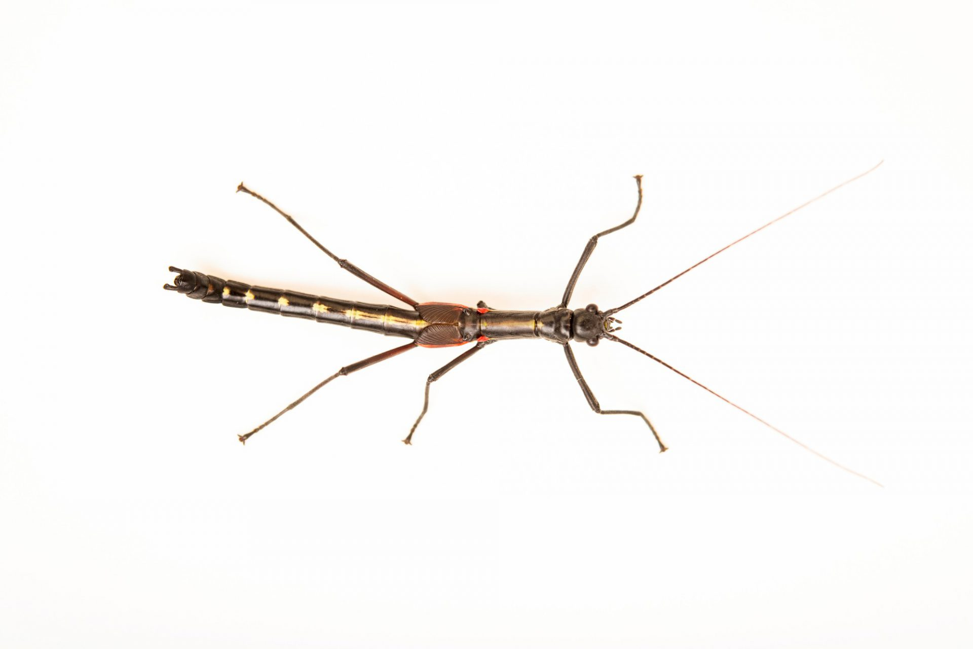 Photo: A stick insect (Orthomeria kangi) at the University of the Philippines.