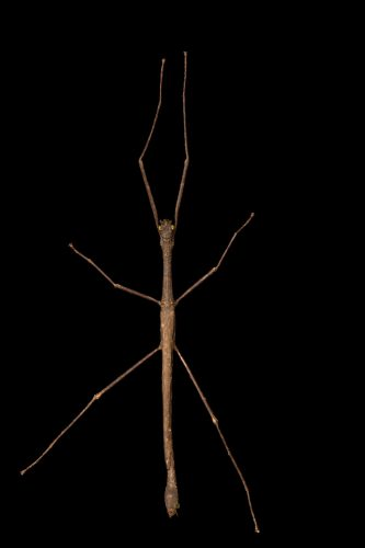 Photo: A stick insect (Phasmatidae sp.) at the University of the Philippines.