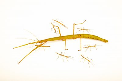 Photo: Laboratory walking stick with juveniles (Carausius morosus) at the Biodiversity Hall of Natural History and Science Museum.