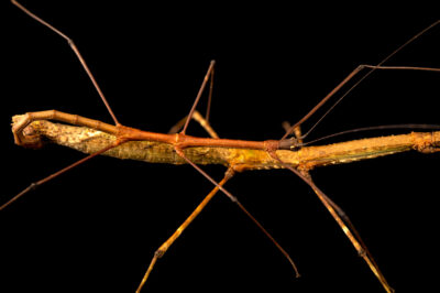 Photo: A pair of stick insects (Manduria halconensis) at Zoo Plzen.