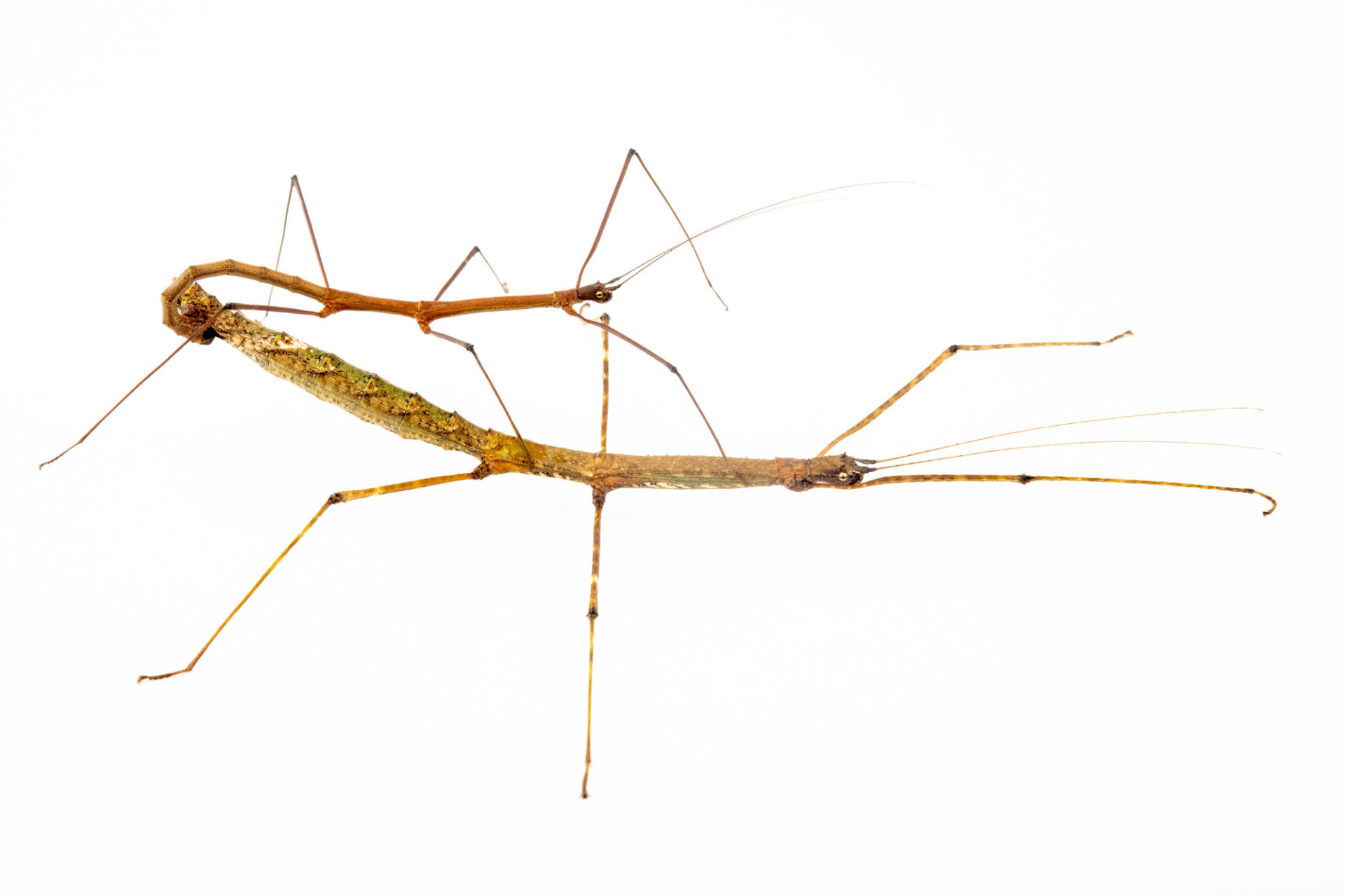 Photo: A pair of Philippine walking stick (Lonchodes philippinicus) at Zoo Plzen in the Czech Republic.