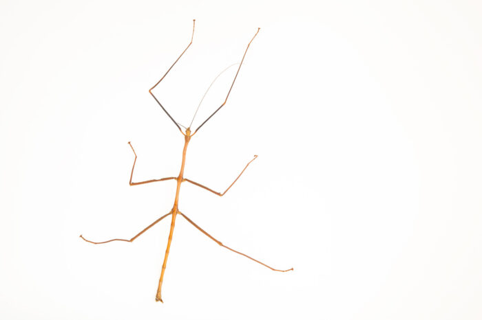 Photo: A stick insect (Phryganistria heusii yentuensis) from a private collection.