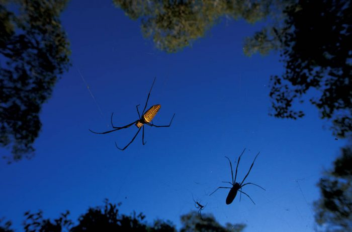 Photo: Colonial spiders hunt from the trees for large insects in the Brazilian Pantanal.