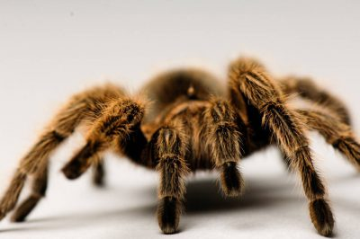 A Chilean rose tarantula (Grammostola rosea) at the Lincoln Children's Zoo.