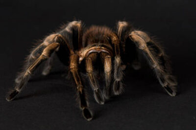 Photo: A Mexican blonde tarantula at the Sunset Zoo.