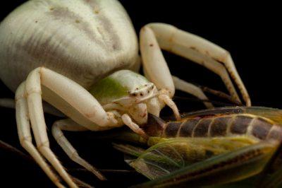 Photo: A crab spider (Thamisus onustus) devours a grasshopper found at Spring Creek Prairie.