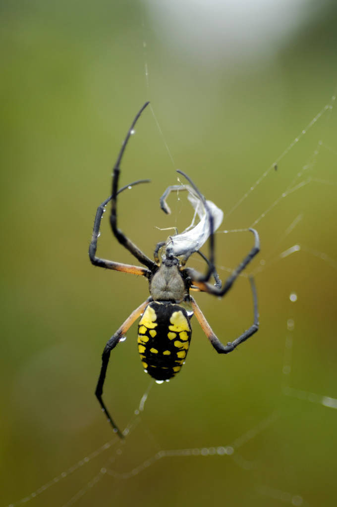 Photo: A damselfly is caught in a black-and-yellow argiope's (Argiope aurantia) web.