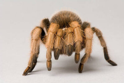 Photo: A desert blond tarantula (Aphonopelma chalcodes) at the Kansas City Zoo.