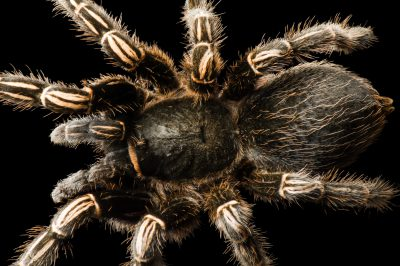 Stripped knee tarantula (Aphonopelma seemanni) at the Great Plains Zoo.