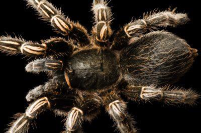 Stripped knee tarantula (Aphonopelma seemanni) at the Great Plains Zoo.