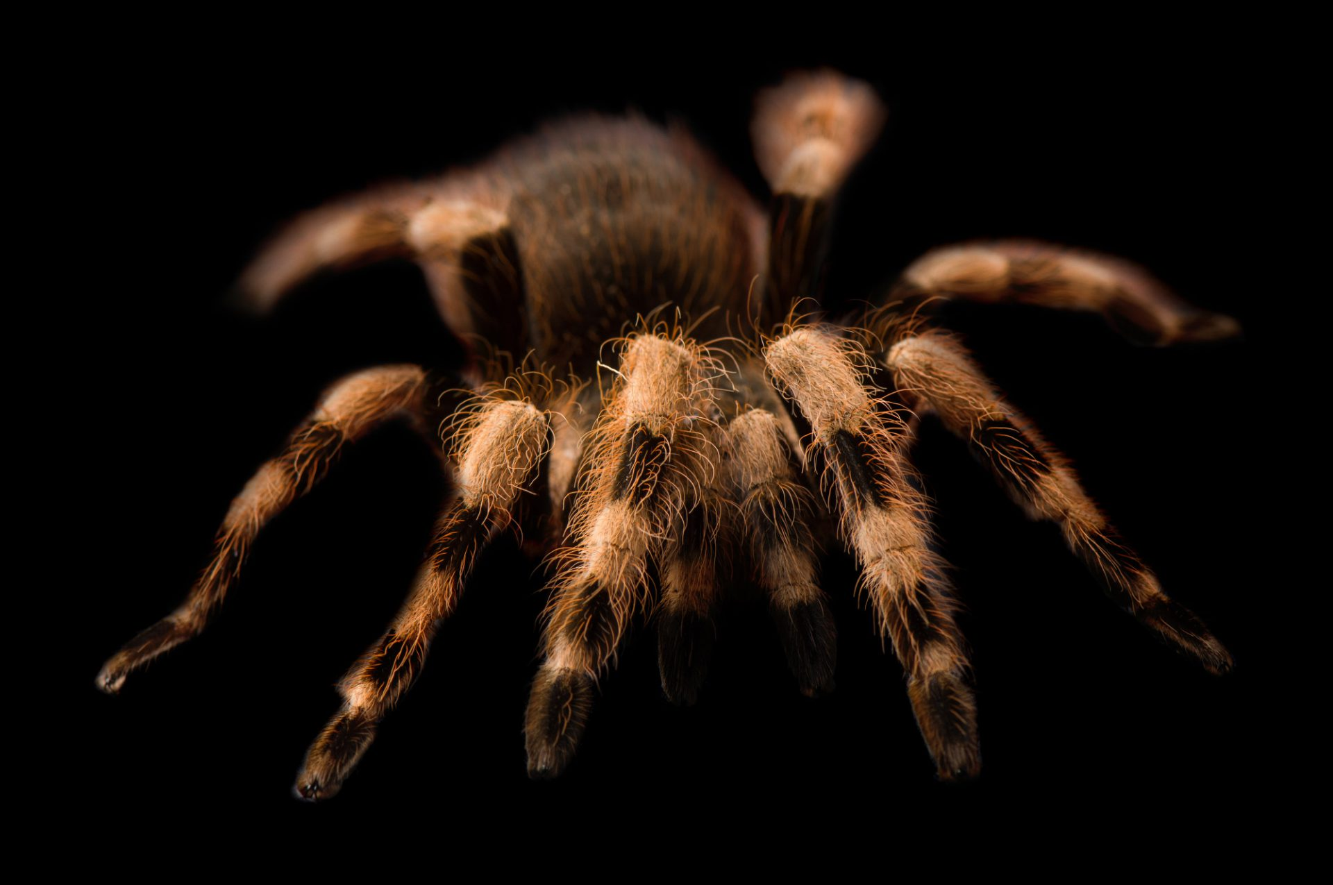Photo: A Brazilian white-banded tarantula (Nhandu colloratovillosus) at the Safari Land Pet Store.
