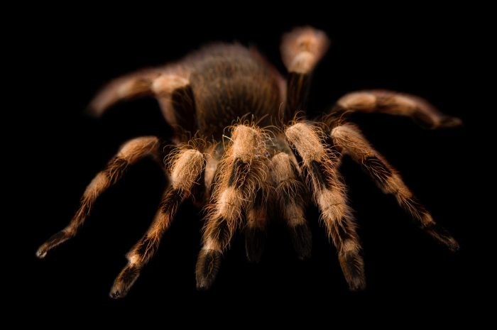 Photo: A Brazilian white-banded tarantula (Nhandu colloratovillosus) at the Safari Land Pet Store.