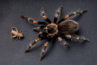 Photo: A Mexican flameknee tarantula (Brachypelma auratum) at the Safari Land Pet Store.