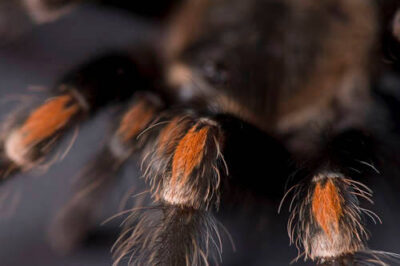 Photo: A Mexican flameknee tarantula (Brachypelma auratum) at the Safari Land Pet Store.
