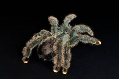 Photo: A metallic pinktoed tarantula (Avicularia metallica) at Omaha's Henry Doorly Zoo.