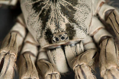 Photo: A Togo starburst baboon tarantula (Heteroscodra maculata) at Omaha's Henry Doorly Zoo.