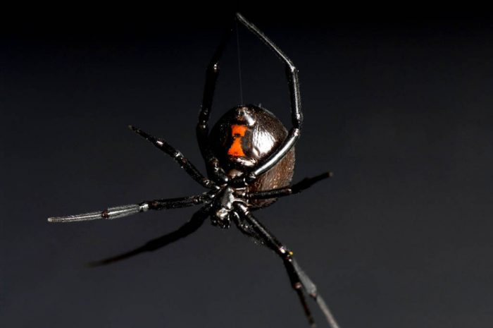 Picture of a black widow spider (Latrodectus mactans) at Reptile Gardens.