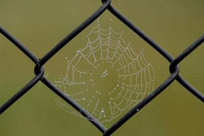 Photo: Spiderwebs laden with dew on a foggy morning in Wisconsin.
