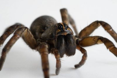 An adult female wolf spider (Tigrosa helluo).